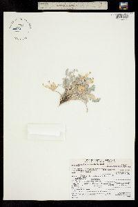 Image of Astragalus anisus