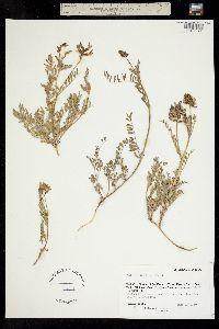 Image of Astragalus bodinii