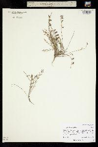 Image of Astragalus brandegeei