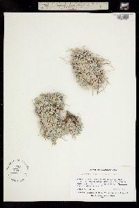 Image of Astragalus calycosus