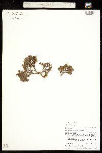 Image of Vaccinium cespitosum