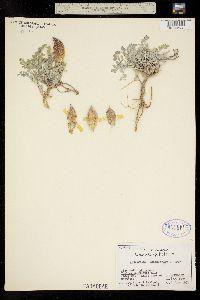 Image of Astragalus chamaeleuce