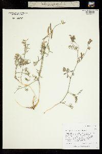 Image of Astragalus cronquistii