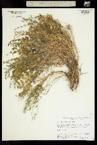 Image of Astragalus debequaeus