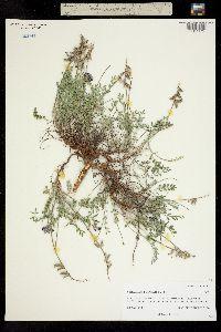 Image of Astragalus desperatus