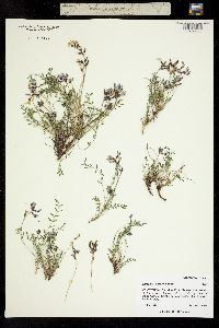 Astragalus deterior image