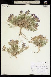 Image of Astragalus detritalis