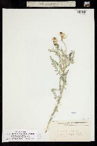 Astragalus drummondii image