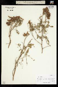 Image of Astragalus falcatus