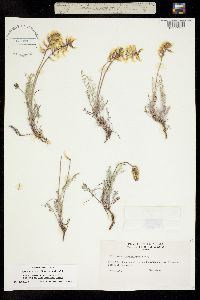 Image of Astragalus flavus