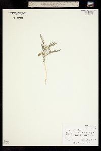 Image of Astragalus geyeri
