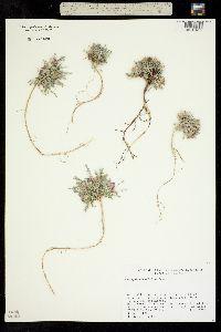Image of Astragalus humillimus