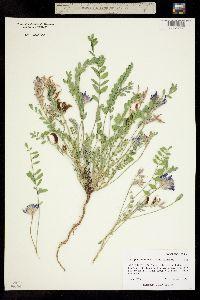 Image of Astragalus iodopetalus