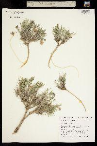 Image of Astragalus jejunus