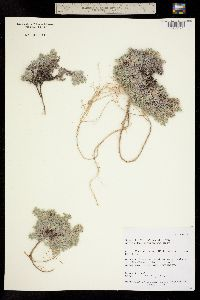 Image of Astragalus kentrophyta