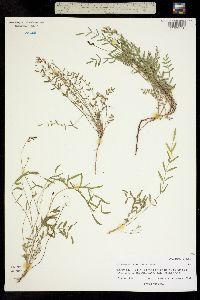 Image of Astragalus leptaleus