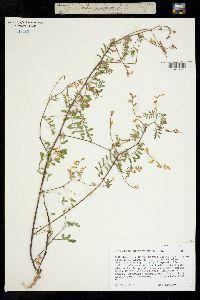 Image of Astragalus microcymbus