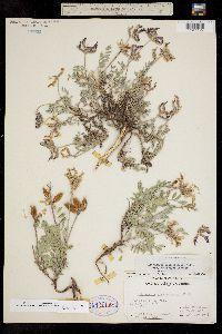 Astragalus missouriensis var. amphibolus image