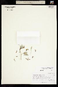 Image of Astragalus molybdenus