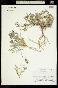Image of Astragalus cottamii