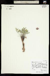 Image of Astragalus musiniensis