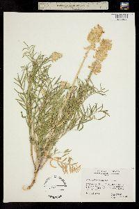 Image of Astragalus oöcalycis