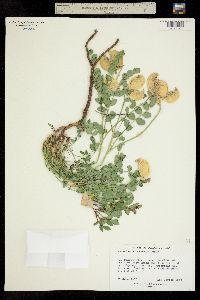 Image of Astragalus oöphorus
