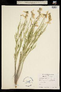 Image of Astragalus osterhoutii