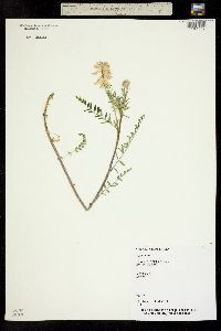 Astragalus pattersonii image