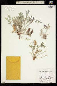 Image of Astragalus piscator