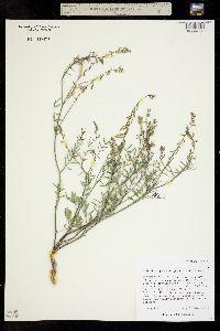 Astragalus proximus image
