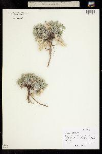 Image of Astragalus purshii