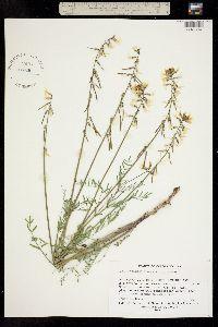 Image of Astragalus schmolliae