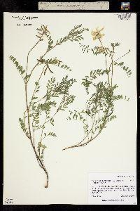 Astragalus scopulorum image