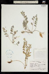 Astragalus shortianus image