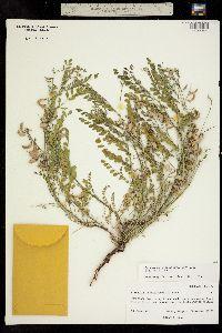 Image of Astragalus sparsiflorus
