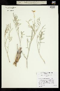 Image of Astragalus tortipes