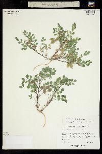 Astragalus wetherillii image
