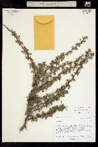 Image of Caragana aurantiaca