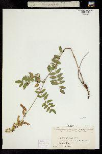 Hedysarum occidentale image