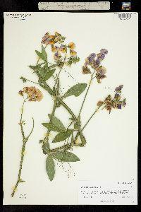 Image of Lathyrus latifolius