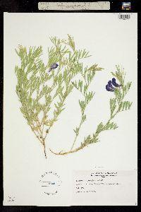 Image of Lathyrus polymorphus