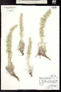 Image of Cryptantha weberi