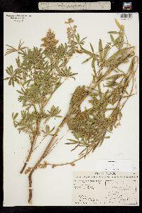 Image of Lupinus x alpestris
