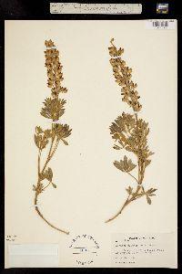 Image of Lupinus plattensis