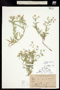 Herrickia glauca image