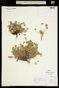 Image of Lupinus lepidus