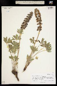 Image of Lupinus polyphyllus