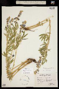 Image of Lupinus sericeus
