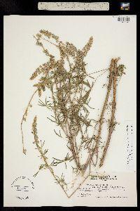 Image of Lupinus parviflorus